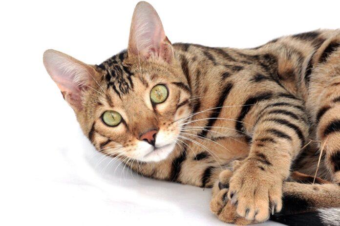 gatto del bengala su sfondo bianco