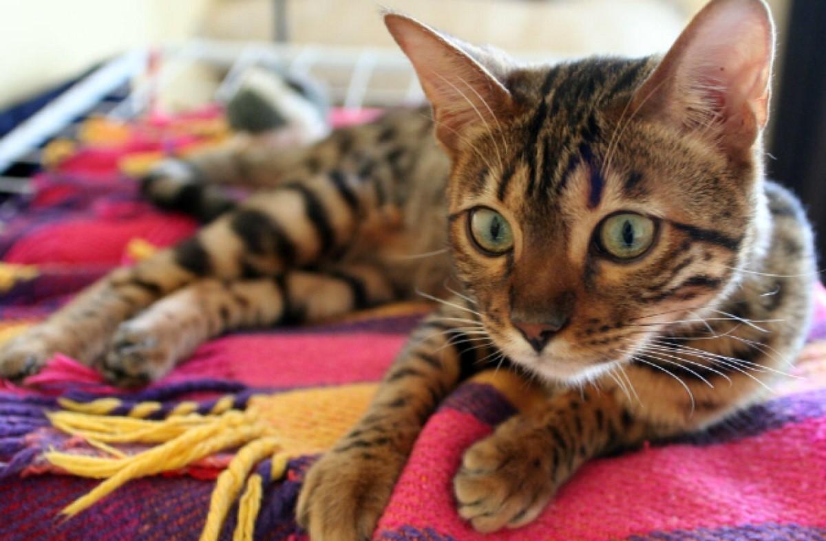gatto del bengala sdraiato su coperta