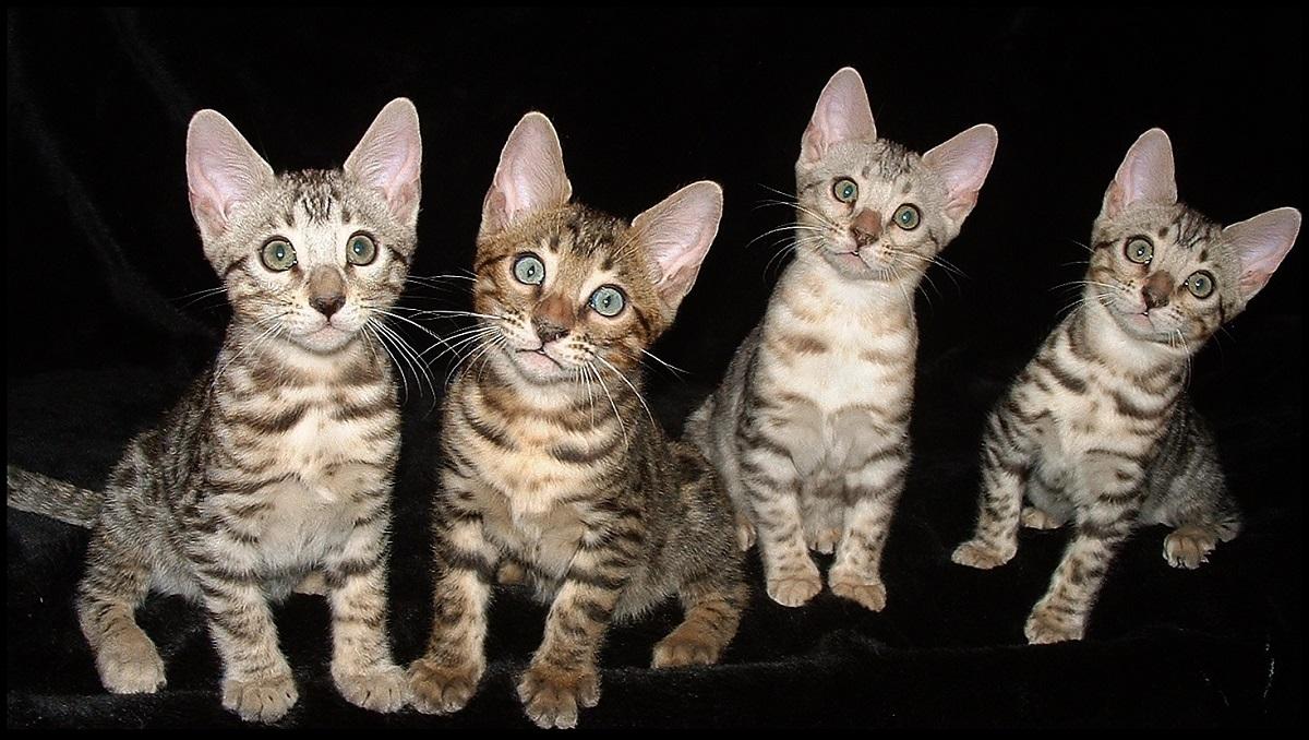 quattro cuccioli di gatto del Bengala