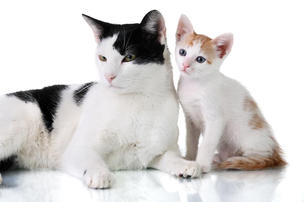 Quando un gatto diventa adulto
