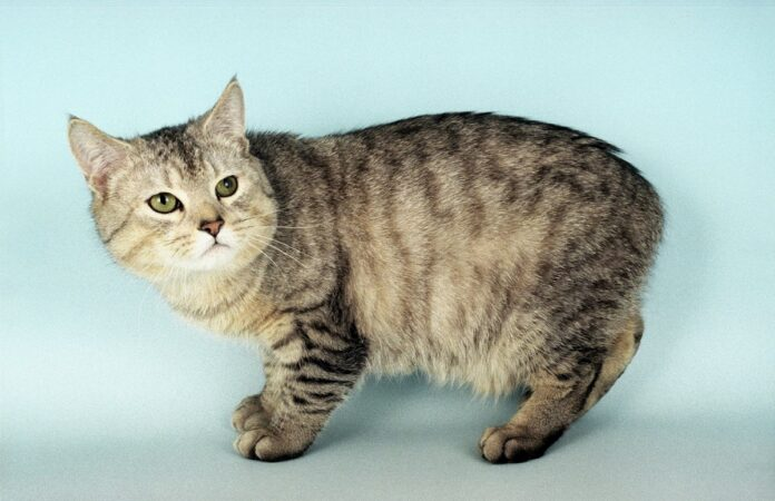 gatto manx su sfondo chiaro
