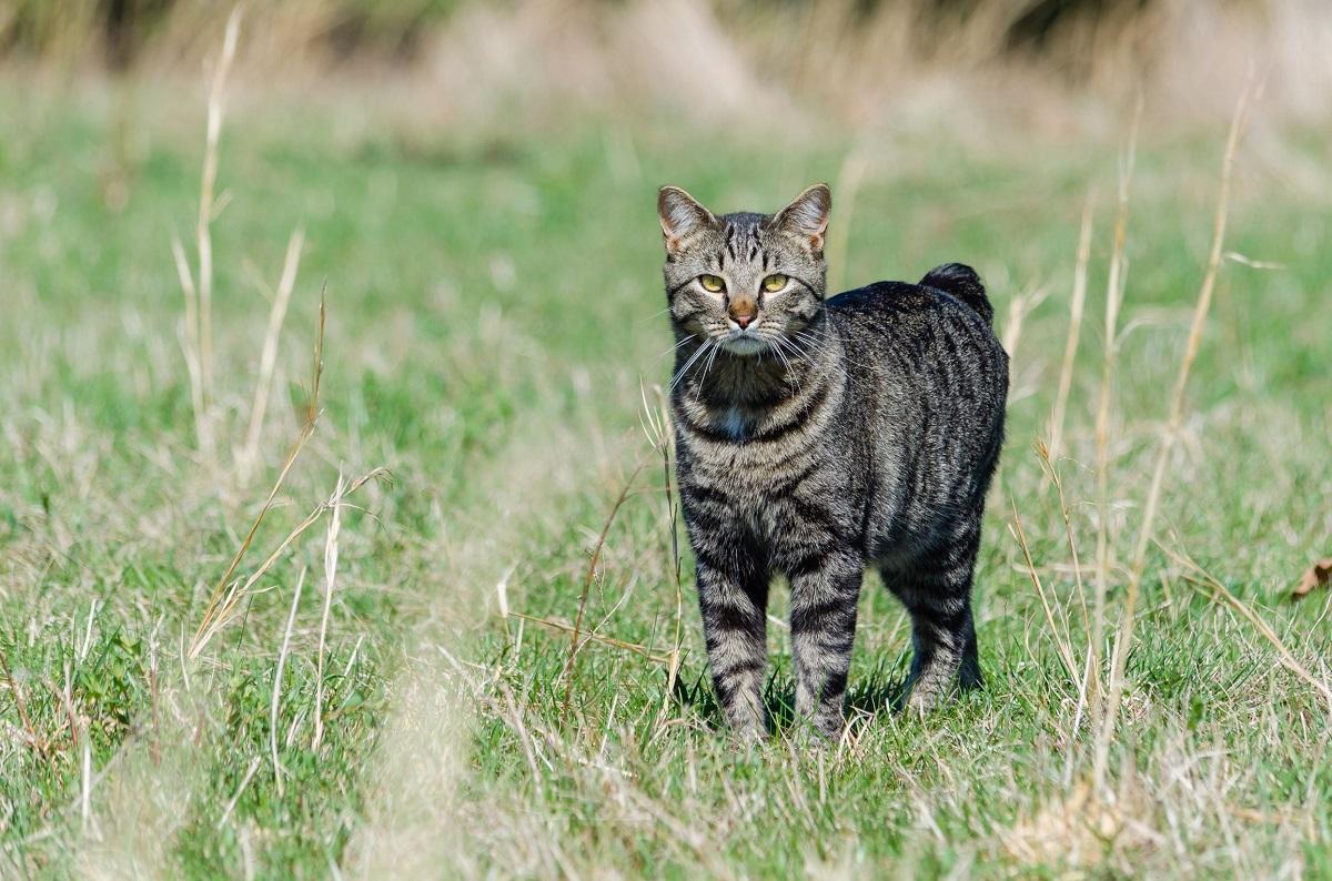 gatto manx su erba