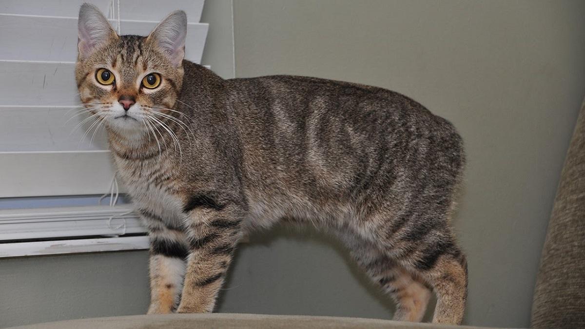 gatto manx vicino a finestra