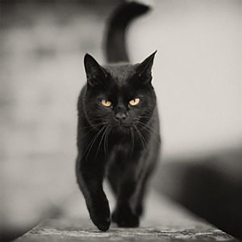 Gatto nero che cammina