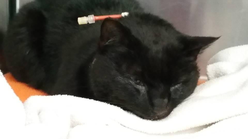 Gatto nero ferito