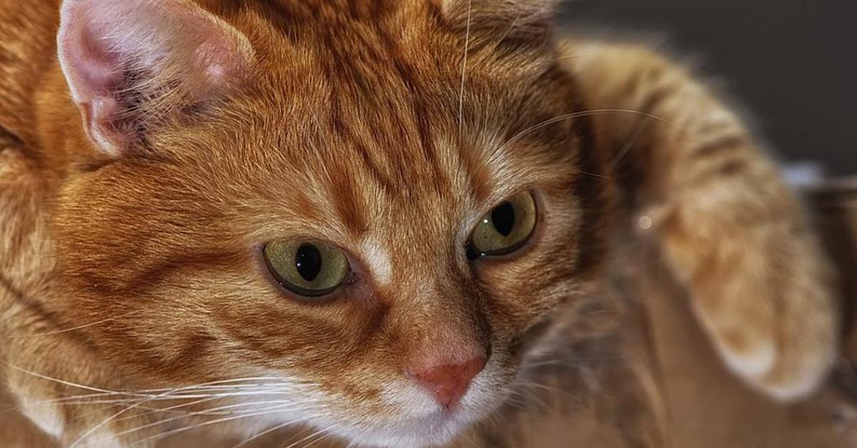 Gatto rosso che fissa