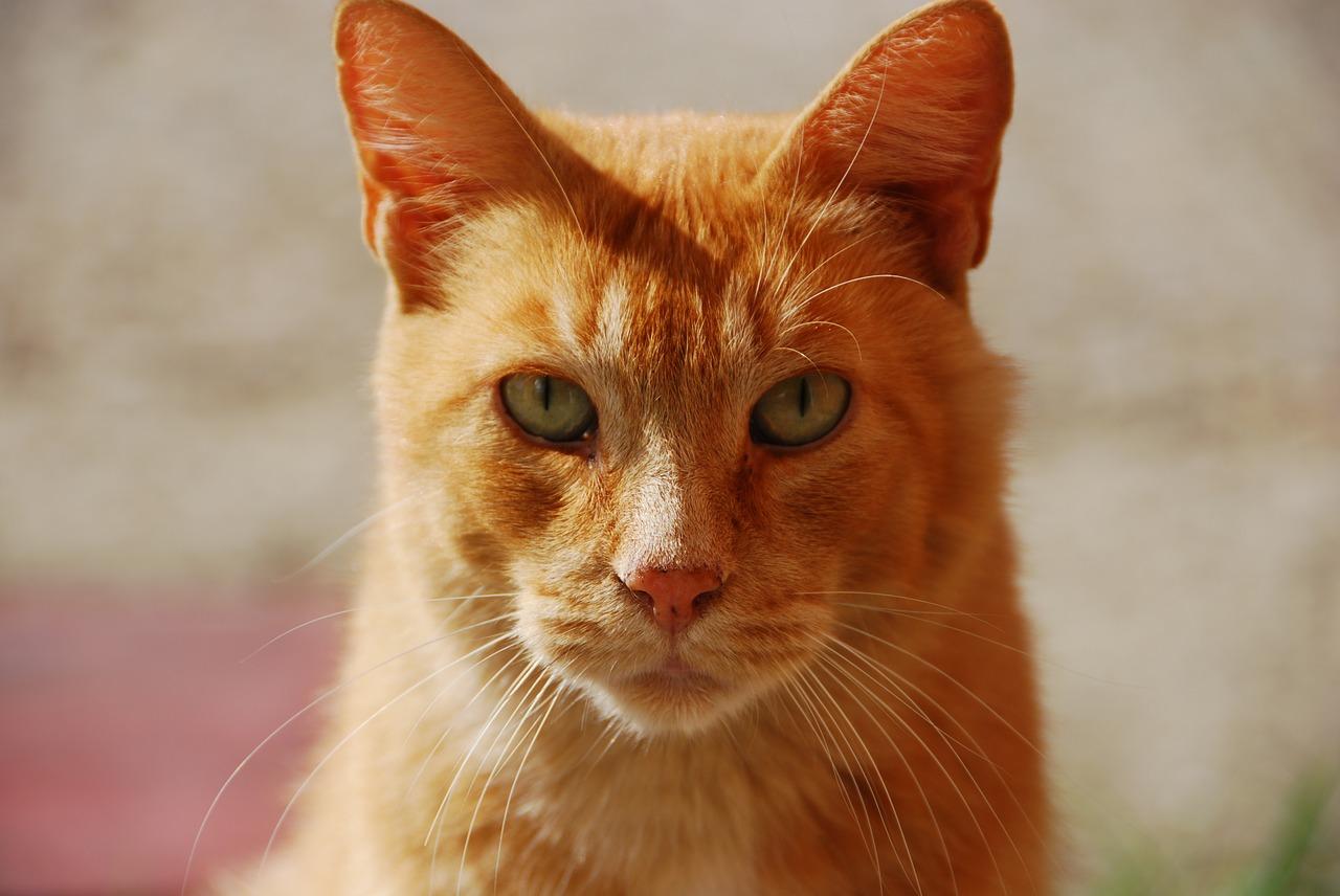 Gatto rosso che guarda