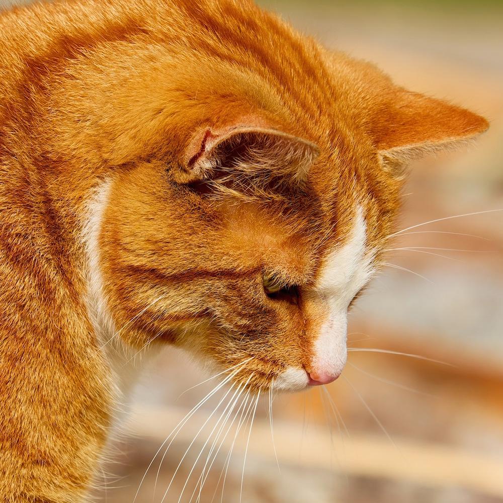 Gatto rosso che punta