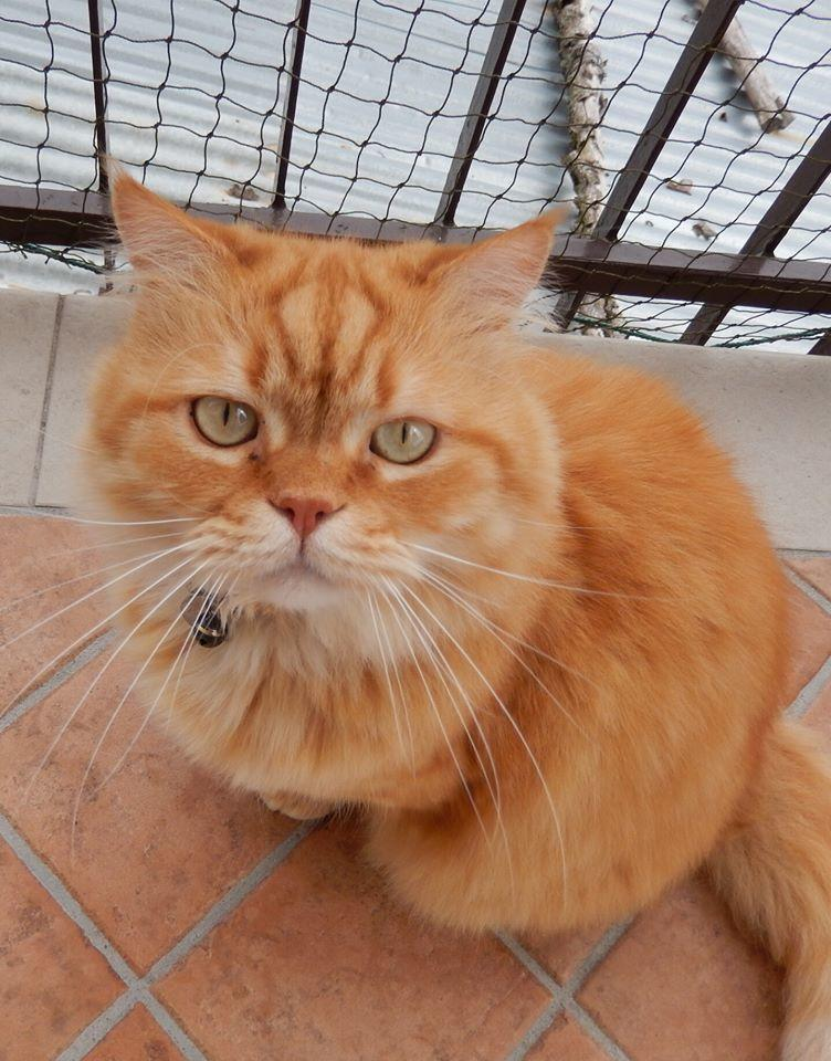Gatto rosso seduto