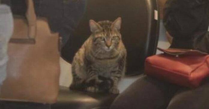 Gatto tigrato che fissa