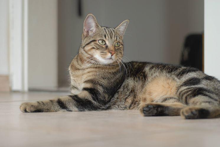 Gatto tigrato che guarda