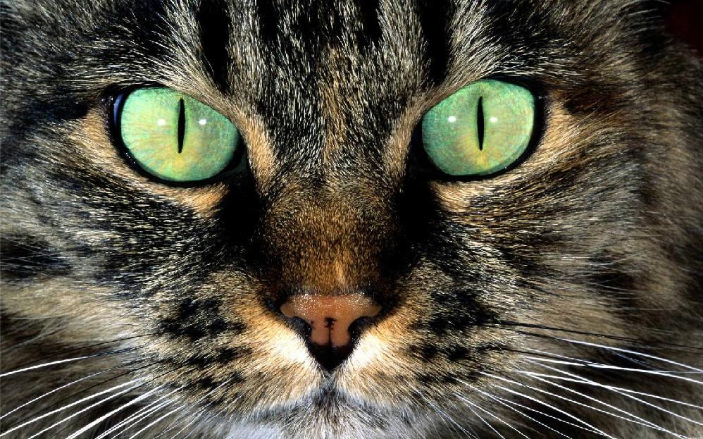 Gatto tigrato con occhi verdi