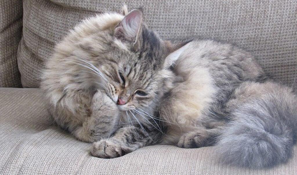 Perché i gatti leccano