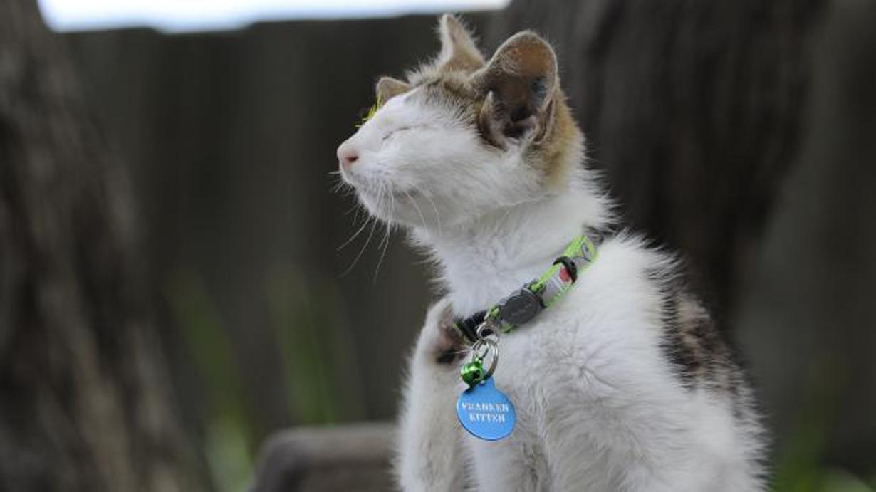 Un gatto con quattro orecchie