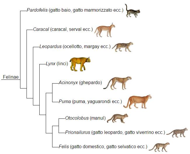 albero genetico felinae