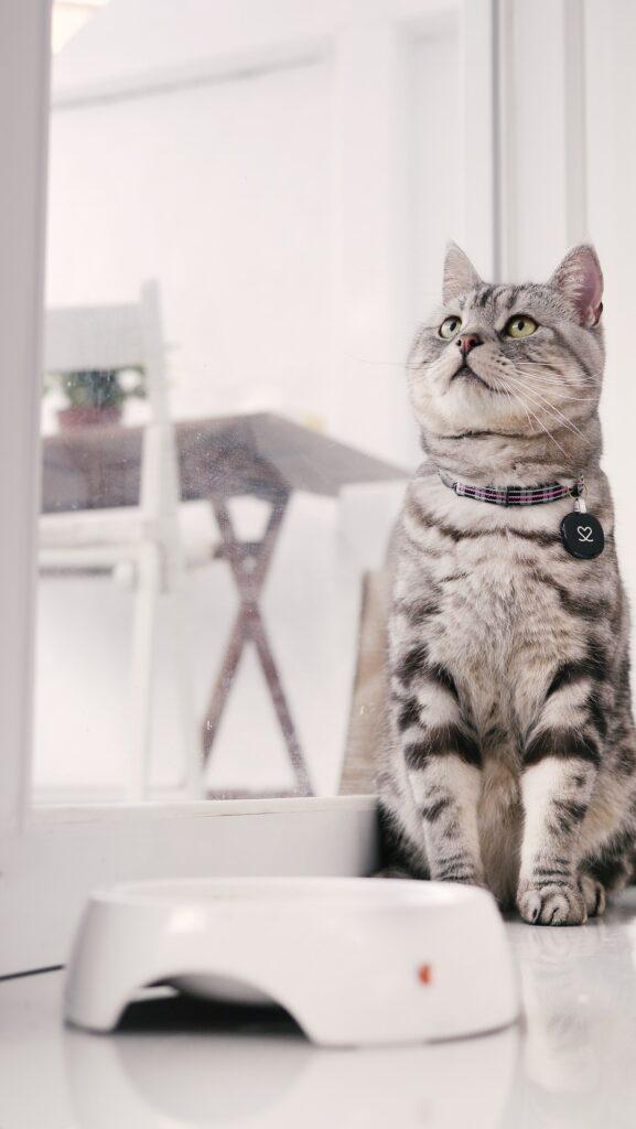 un cucciolo di gatto american shortair