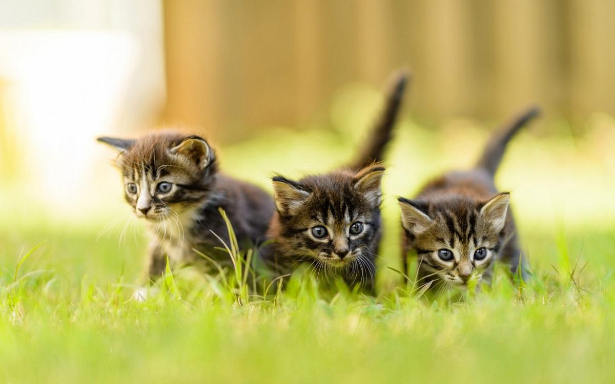 tre gattini american shorthair