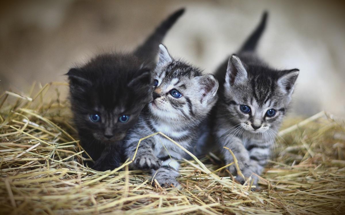 tre cuccioli di american shorthair