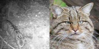 gatto-selvatico-e-fotografia-bianco-in-nero