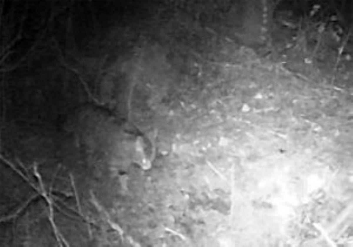 fotogramma-gatto-selvatico