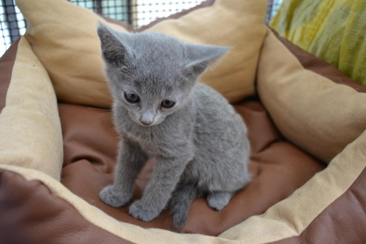 gattino blu di russia