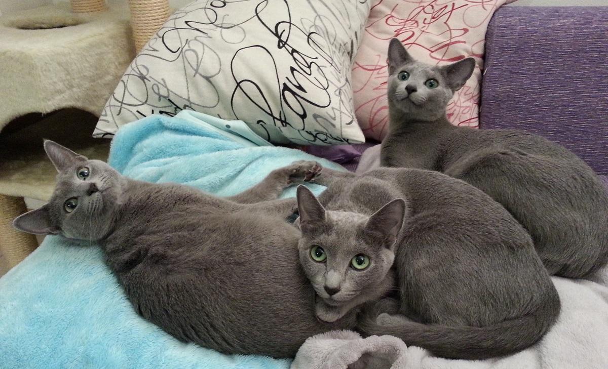tre gatti blu di russia