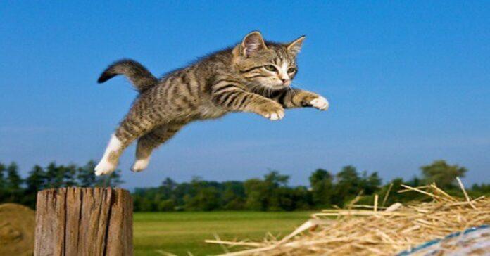 gatto-che-salta