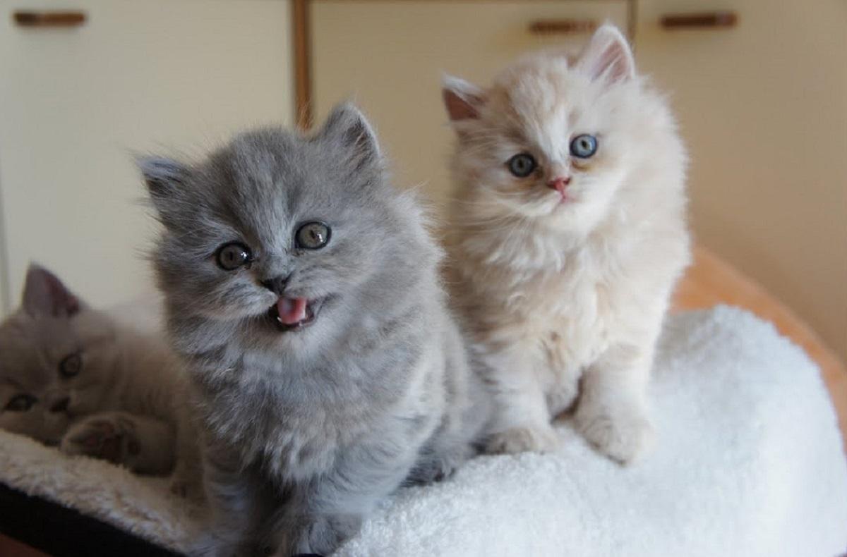 cuccioli di british longhair