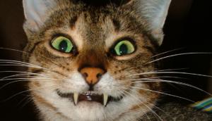 gatti perdono i denti