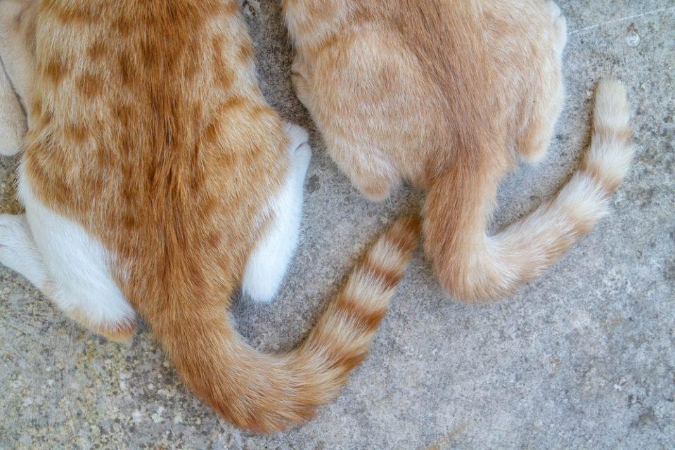 Gatti senza coda: problemi comuni