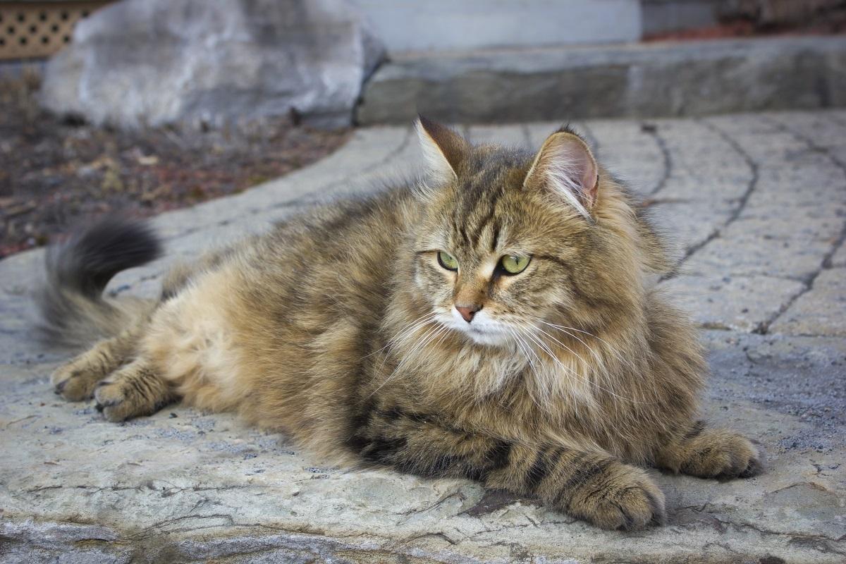 gatto siberiano sul pavimento