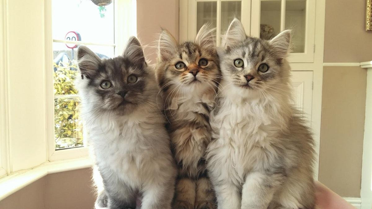 3 cuccioli di siberiano