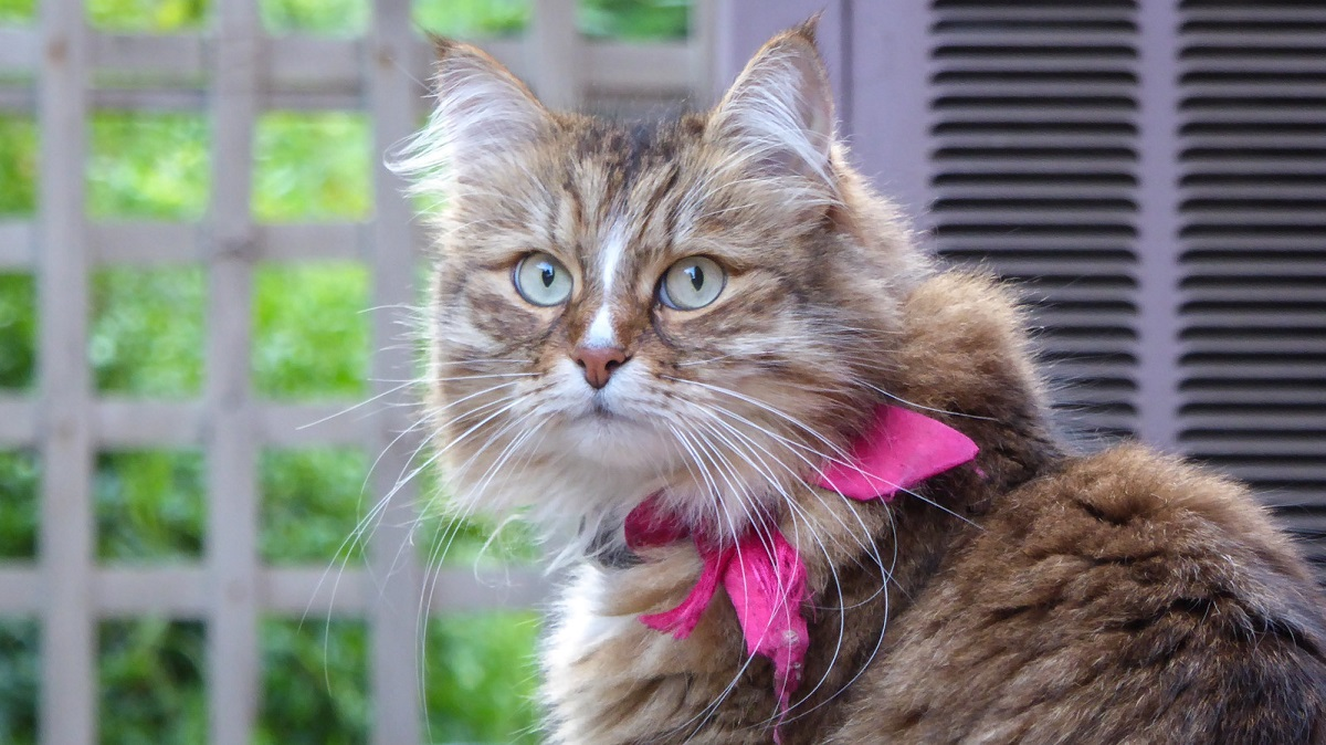 gatta siberiana in giardino