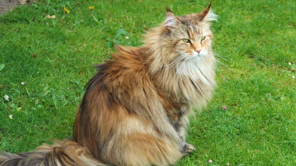 gatto siberiano su un prato