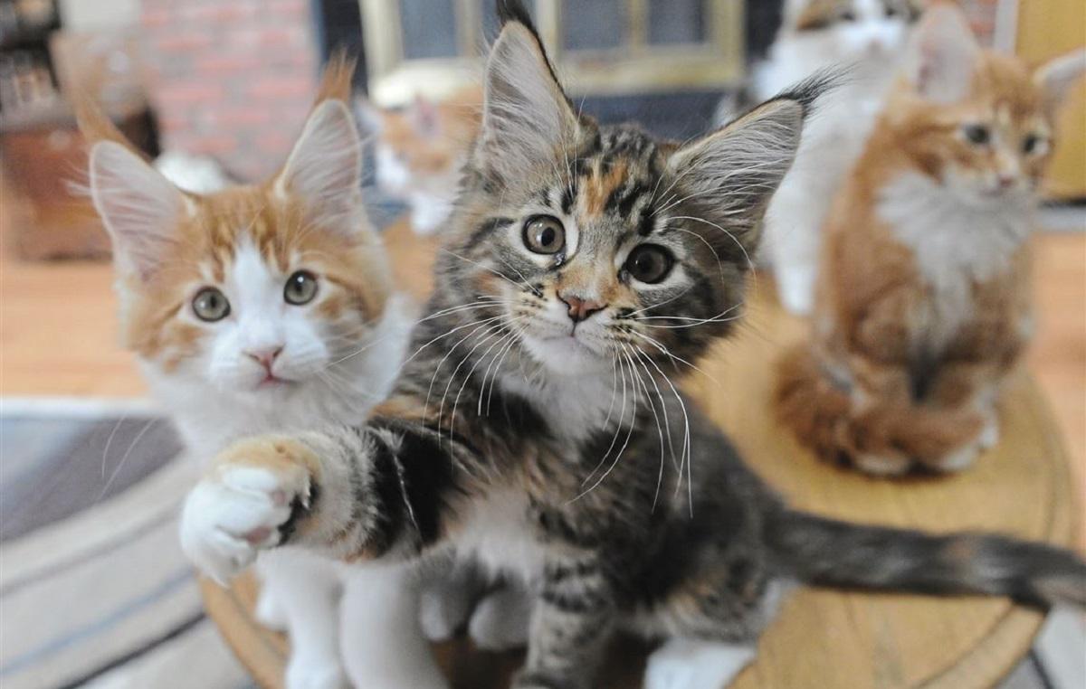 due gattini maine coon