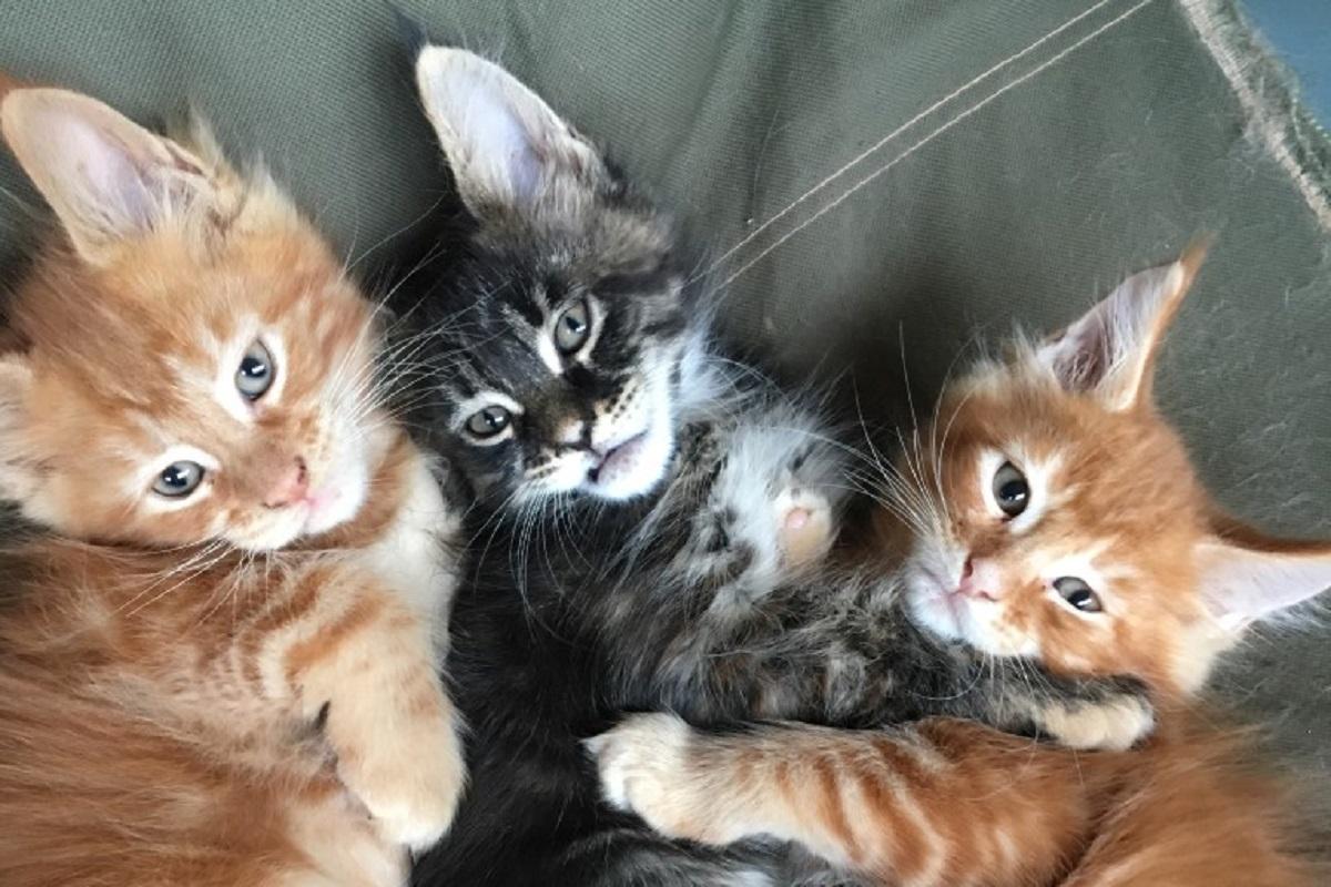 tre cuccioli di maine coon