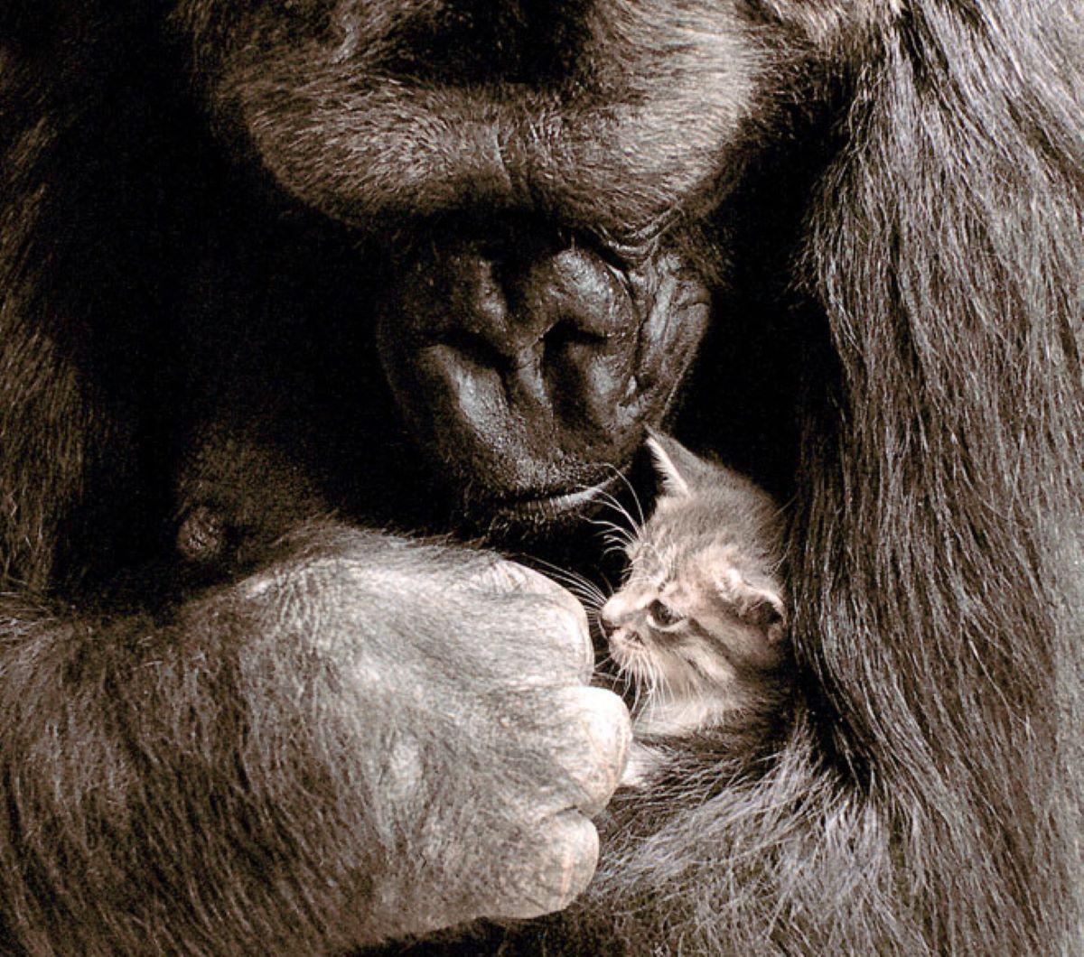gatto-con-gorilla