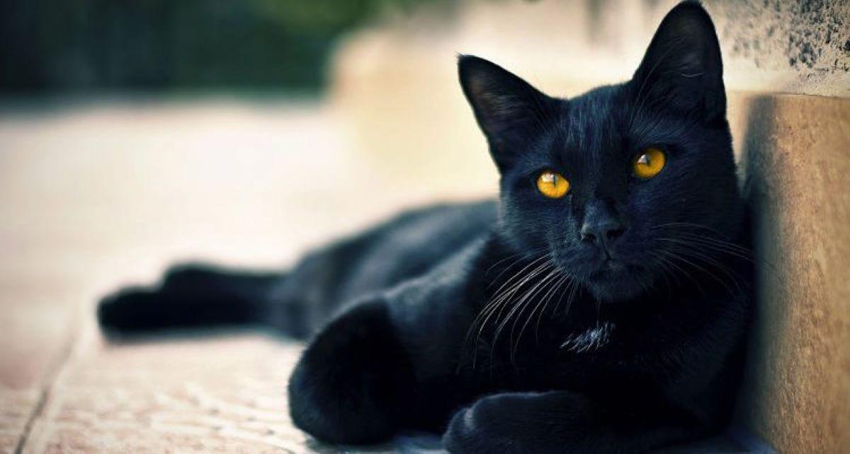 gatto-nero-con-sguardo-intenso