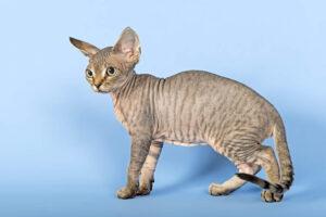 Gatto Devon Rex: immagini e foto
