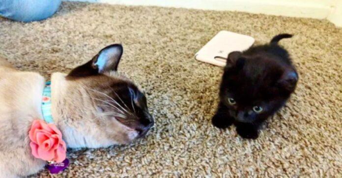 gattino-nero-con-gatto-siamese