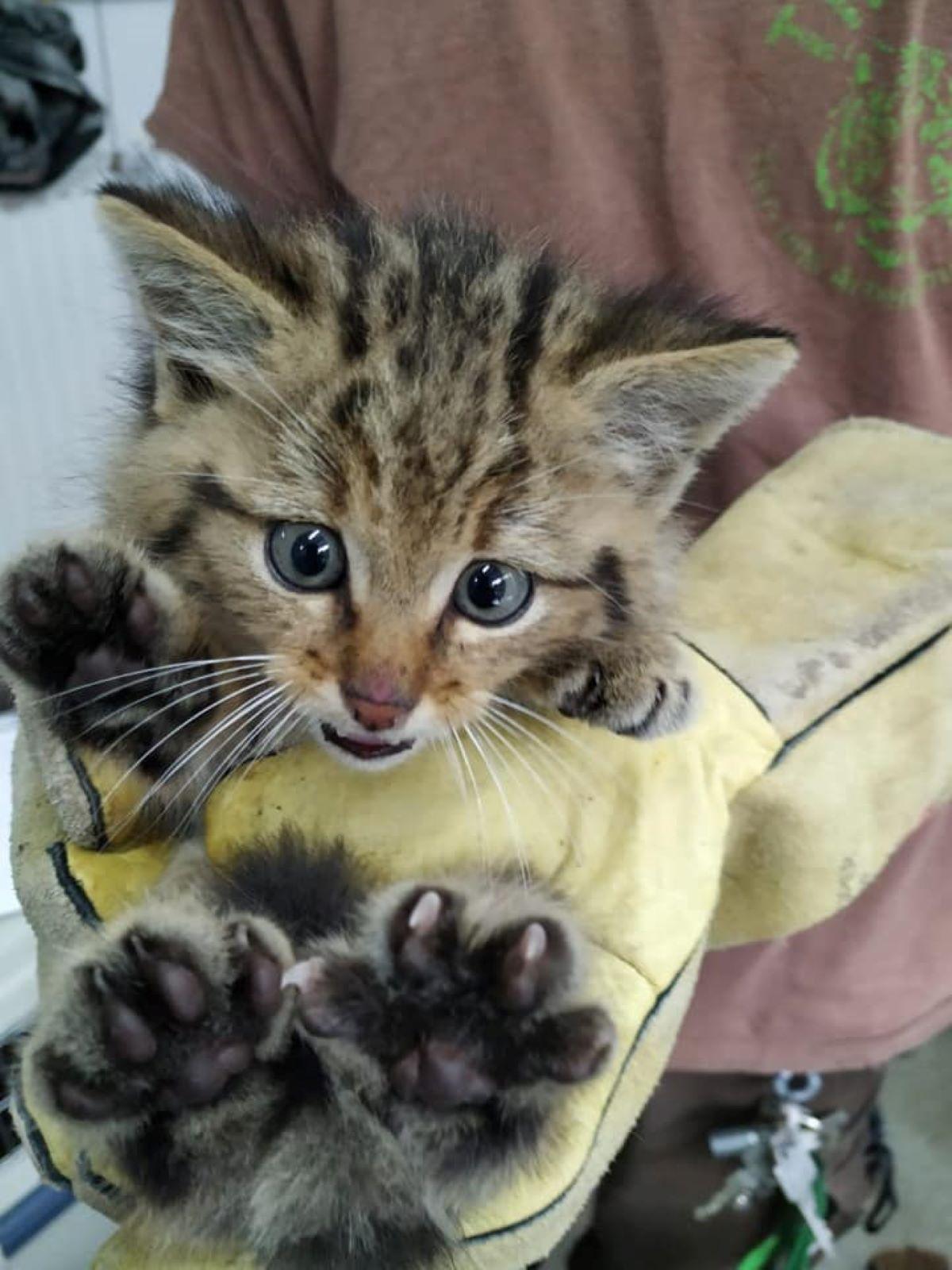 gattino-selvatico-in-braccio