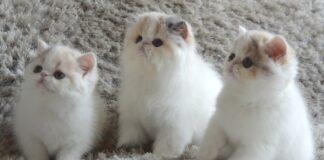 tre cuccioli di exotic shorthair