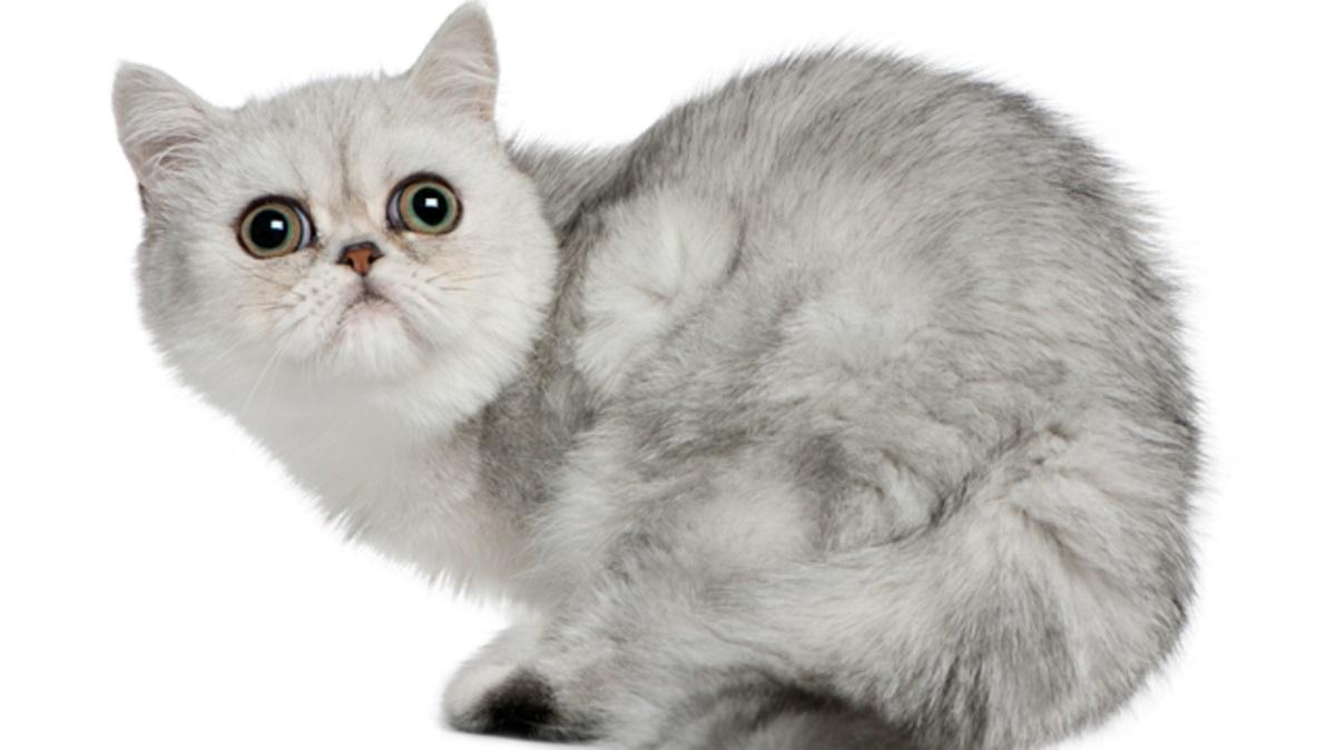 exotic shorthair su sfondo bianco
