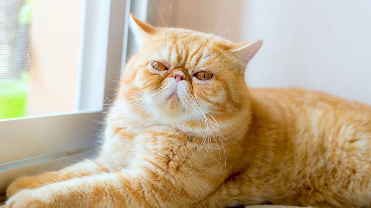 gatto exotic shorthair accanto a finestra