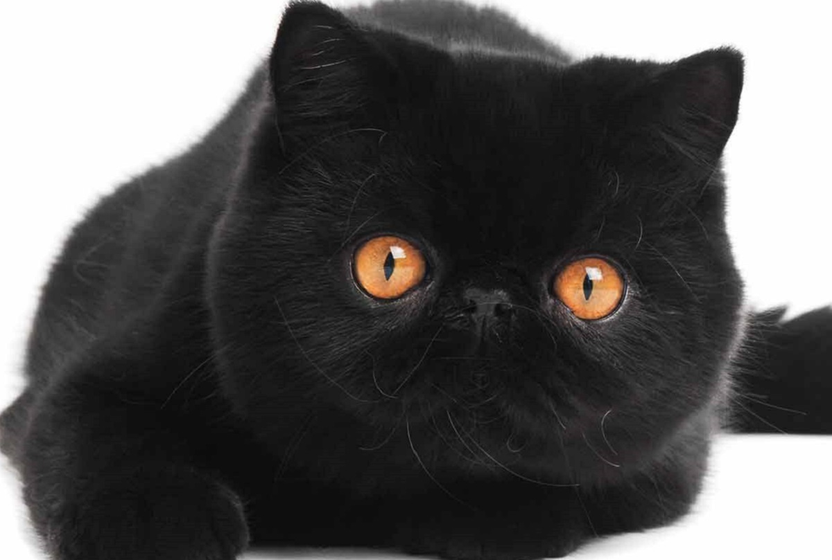 exotic shorthair nero