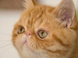 exotic shorthair cucciolo