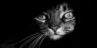 primo-piano-gatto-in-bianco-e-in-nero