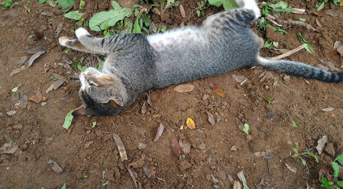 gatto-che-si-rotola