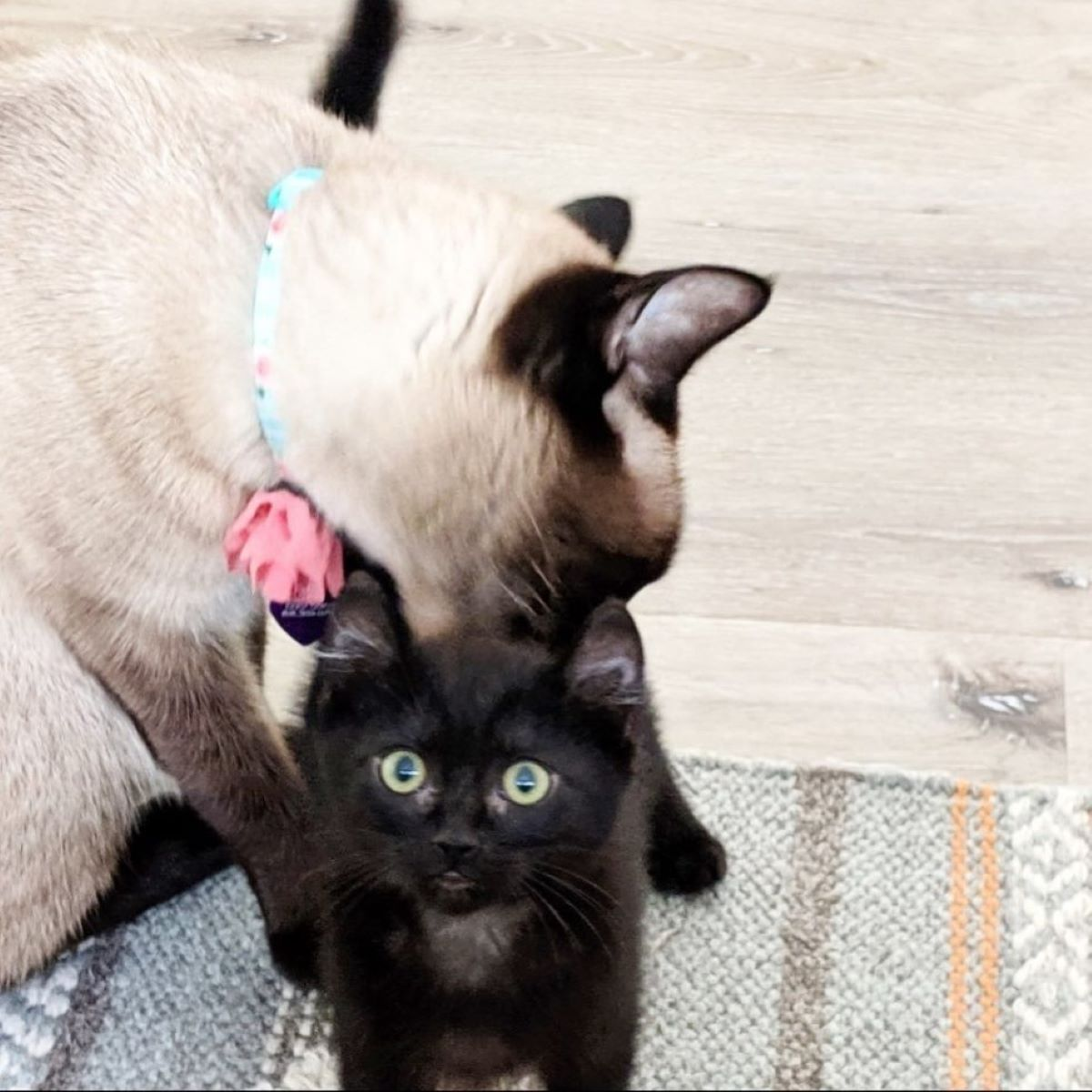 gattino-nero-e-gatto-siamese-insieme