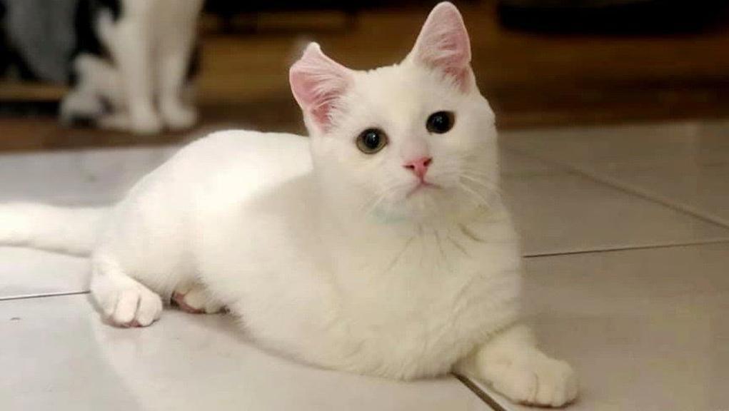 gatto-bianco-con-viso-dolce
